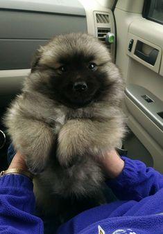 17 photos de chiens qui ressemblent à des ours en peluche! Certains vont vous faire craquer.
