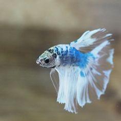 Betta Fish Types, Beta Fish, Fish Tanks, Beautiful Fish, Exotic Fish, Freshwater Aquarium, Lonely, Fresh Water, Underwater