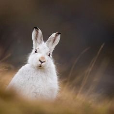 Photograph by @andyparkinsonphoto/@thephotosociety Mountain hare exposed in a warming world - For the 10th anniversary of Earth Hour, I'm joining the #MakeClimateMatter online community. During my recent month long trip to work with Scotland's mountain hares the unusual and disturbing lack of snow cover in the mountains made it clear to me that, not only is the warming climate adding yet another pressure to the already challenging existence of these valuable herbivores but that it's becoming…