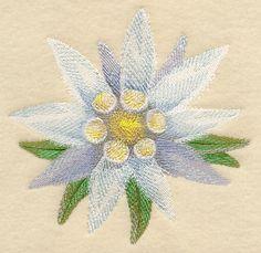 Edelweiss Bloom in Watercolor