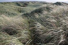Danish grasses