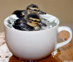 Spring ducklings in a tea cup. So cute! For folks who hatch and raise their own ducklings! Cute Baby Animals, Animals And Pets, Funny Animals, Small Animals, Wild Animals, Animal Memes, Farm Animals, Beautiful Birds, Animals Beautiful