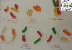 biology classroom Using candy to teach Mitosis and Meiosis: Beg, Borrow, and Teach! Science Cells, Science Biology, Science Education, Life Science, Ap Biology, Physical Science, Earth Science, Science Web, Science Penguin