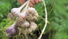 How to grow garlic - Projects: Fruit and vegetables - gardenersworld.com