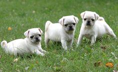 Cute White Pug Puppies