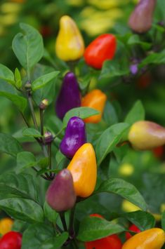 Colorful Peppers in the National Arboretum Fruit And Veg, Fruits And Vegetables, Funny Vegetables, Fruit Trees, Trees To Plant, Vegetable Garden, Garden Plants, House Plants, Chilli Plant