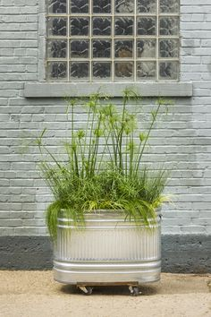 Graceful+Grasses®+Baby+Tut®+-+Umbrella+Grass+-+Cyperus+involucratus