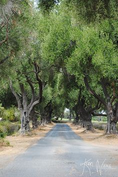 """""""The Road Less Traveled"""" - The tree-lined driveway at Clairmont Lavendar Farms in Los Olivos, California."""