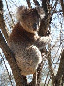 Koala Bear, Kangaroo Island, Australia