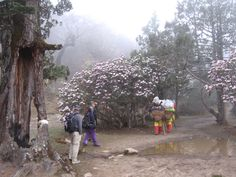 Rhododendron forest in bloom near Duboche in the Khumbu area of Nepal Himalayas