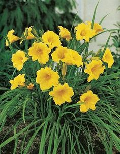 Hemerocallis hybrid Stella D'oro Floriferous bloomer. Bright yellow flowers should bloom all season long. Fragrant. Tremendously vigorous. Heat and drought tolerant. Very adaptable. Height: 12-18 Inches.  Hardiness Zone: 2-9