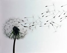Another dandelion silhouette photo