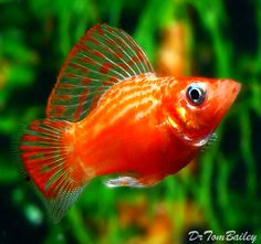 Pot Belly Molly, Featured item. #pot #belly #molly #fish #petfish #aquarium…