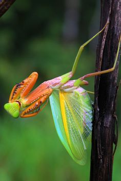 Praying Mantish in Actions by Abdul Gapur Dayak - Photo 111538477 - Cool Insects, Bugs And Insects, Beautiful Creatures, Animals Beautiful, Cute Animals, Beautiful Bugs, Amazing Nature, Foto Macro, Petit Tattoo