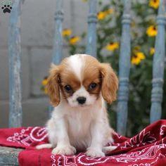 Tidbit, Cavalier King Charles Spaniel Puppy