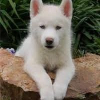 Wonderful All About The Siberian Husky Ideas. Prodigious All About The Siberian Husky Ideas. White Siberian Husky Puppy, Siberian Huskies, Sibirsk Husky, Beautiful Dogs, Animals Beautiful, Cute Animals, Hamsters, Baby Dogs, Dogs And Puppies
