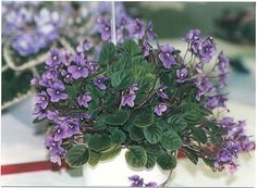 Beacon Trail 7861,5/13/93,H. Pittman Semidouble lavender-purple. Medium green, plain. Semiminiature trailer.
