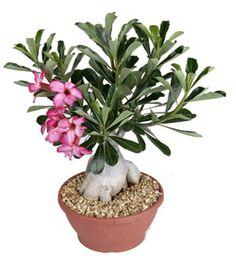 Adenium obesum [Desert Rose]