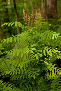 Osmunda regalis (Royal Fern) A fern often found in wet conditions, graceful apperance
