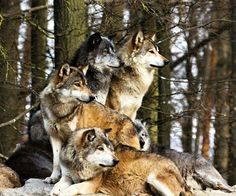 All I want, all I've ever wanted, is to be near the wolves.