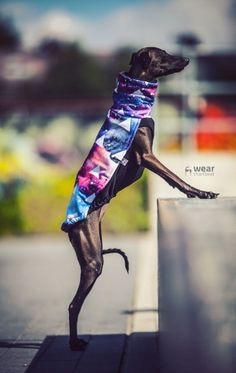 italian greyhound clothes - galaxy blouse #italiangreyhound #italiangreyhoundclothing