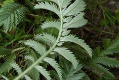 Underside of silverweed leaf