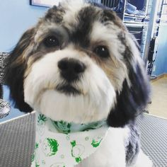 Meet Charlie so much cuteness in one package #wagsmytail #tucsondoggrooming #puppyface A well groomed dog is a well loved dog! Call us today to schedule your dog grooming appointment 520-744-7040