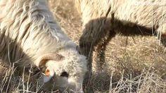 Owce w Zakopanem / Poland  #zakopane #poland #travel #tatramountains #sheep