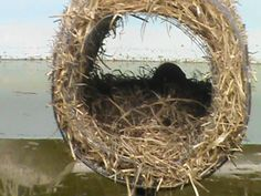 Mallard duck nesting at Urban Jungle Headquarters