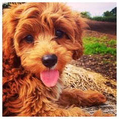 A fluffy little Cavapoo puppy!  Congrats to @copperthecavapoo & thanks for posting!