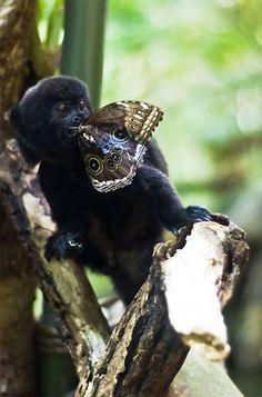 Goeldi's Monkey - Manú National Park biosphere reserve in Madre De Dios, Amazon of Peru.