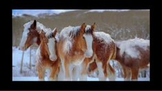 """""""Snowball Fight"""" Budweiser Clydesdale style!"""