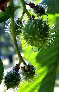 Chestnut Hill, Chestnut Horse, Hazelnut Tree, Flora, Diy Christmas Decorations Easy, Seed Pods, Color Of Life, Shades Of Green, Garden Design
