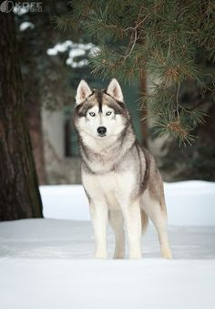 Gorgeous Siberian Husky!
