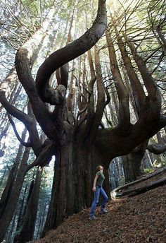 Funny pictures about Giant Tree In Shady Dell. Oh, and cool pics about Giant Tree In Shady Dell. Also, Giant Tree In Shady Dell photos. Oh The Places You'll Go, Places To Travel, All Nature, Amazing Nature, Jolie Photo, Parcs, The Great Outdoors, Wonders Of The World, The Good Place