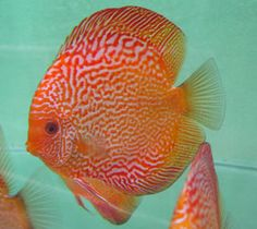 Discus discus fish and yellow on pinterest for Best place to buy discus fish