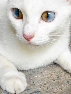 Chat blanc.