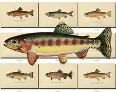 FISHES-32 Collection of 51 vintage images Brook Brown Golden Trout burbot carp picture High resolution digital download printable animals