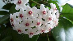 MUM ÇİÇEĞİ (HOYA CARNOSA) BAKIMI | Çiçek Bakımı, Çiçek Çeşitleri, Çiçek Türleri, Çiçek İsimleri