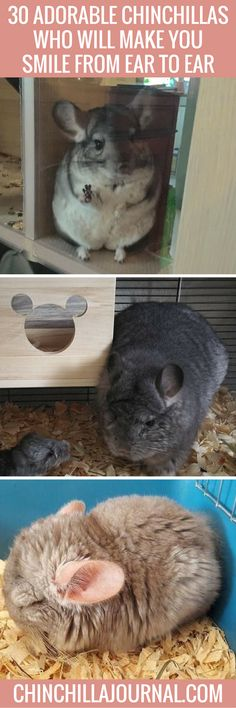 30 Adorable Chinchillas Who Will Make You Smile From Ear To Ear