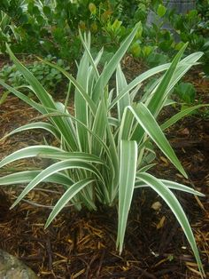 Variegated Flax Lily: Evergreen perennial, grows high and in spread. Blue flower in summer. Backyard Plants, Garden Plants, Landscape Concept, Landscape Design, Flowers Perennials, Planting Flowers, Evergreen Bush, Landscape Timbers, Full Sun Plants