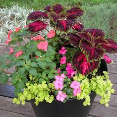 Shade Container of 'Kong Red' Coleus with Pink and Salmon Impatiens, and Lime-green Pennywort.