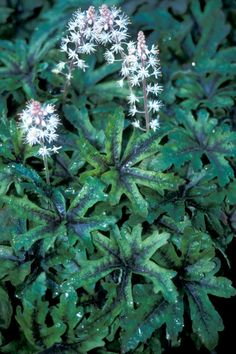 TIARELLA trifoliata  Terra Nova® Nurseries, Inc