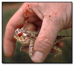 The horned lizard of the American Southwest can spray blood from its eyes as a defense