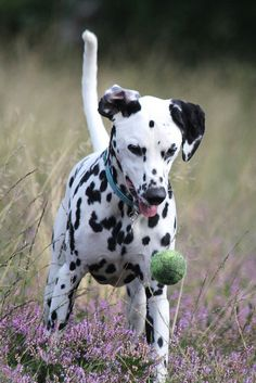 farms with dalmatians | Recent Photos The Commons Getty Collection Galleries World Map App ..