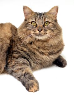 Maine Coon - My Snickers