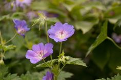 Geranium 'jolly bee'. Flowers from May to October!