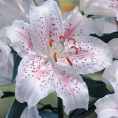 """Muscadet"" Asiatic Lily  a consistent, prolific, reliable bloomer in my garden. Heavenly fragrance!"