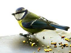 mésange bleue  2 - 0502.jpg
