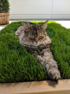 House Plants Safe for Cats (Cat Friendly Indoor Plants) - meowlogy - Tiere . Cat Grass, Grass For Cats, Living With Cats, Cat Garden, Balcony Garden, Cat Playground, Photo Chat, Cat Enclosure, Cat Room